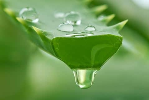 Aloe vera gel for healing cuts wounds and scabs