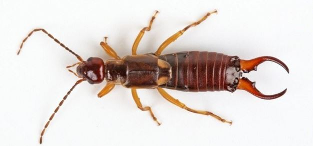Do earwigs bite people
