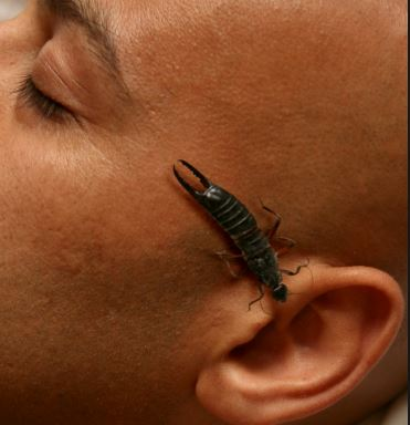 Myth - Some people believe that earwigs enter the ear and feed on the brain