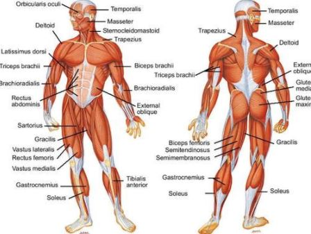Muscular System Diseases Meaning Types Rare Genetic Symptoms